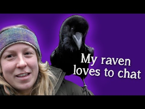 Fable the Raven   Did you know Ravens can talk?!